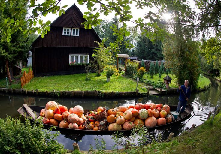 Farmer Harald Wenske transports a harvest of pumpkins yesterday from a field that can be reached only by his traditional boat in Lehde in the Spreewald forest, Germany