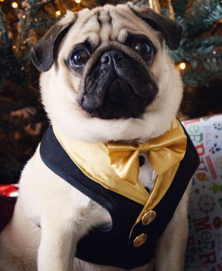 Dressed to the nines! Photo by @pug_baloo Want to be featured on our Instagram? Tag your photos with #thepugdiary for your chance to be featured.