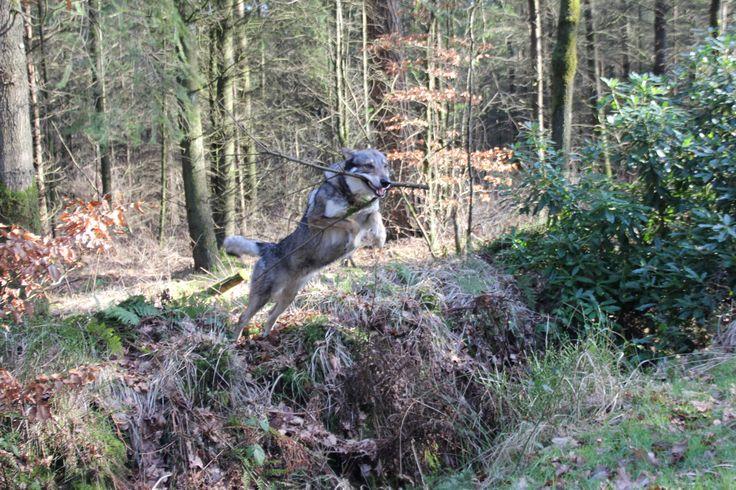 Falcon onze Tsjechoslowaakse wolfhond / Czechoslovakian Wolfdog jumping