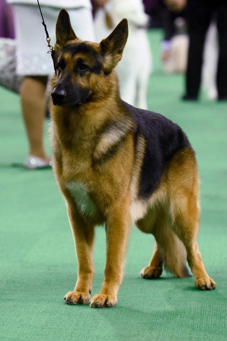 1000 Ideas About German Shepherds On Pinterest German