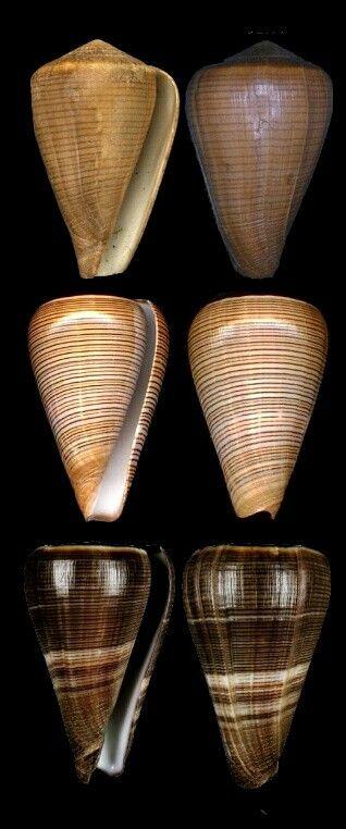 1000 Ideas About Cone Snail On Pinterest Conus