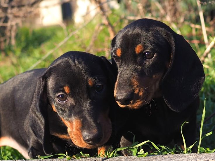 99 Black And Tan Dachshund Puppies For Sale In 2020 Black And