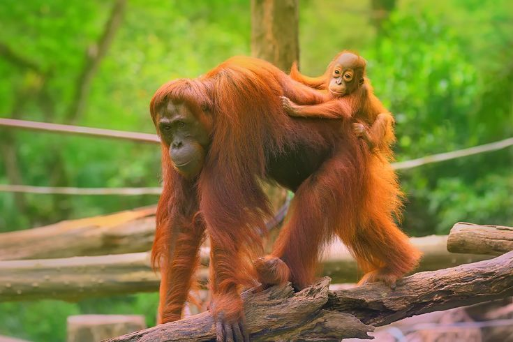 Not only one of the best places to see orangutans - but one of very few where you can see them in the wild - Sabah, Borneo