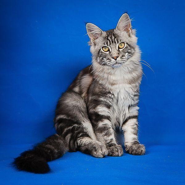 Мейн Кун крупные и дружелюбные коты.