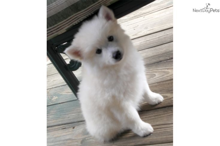 You'll love this Male American Eskimo Dog puppy looking for a new home.