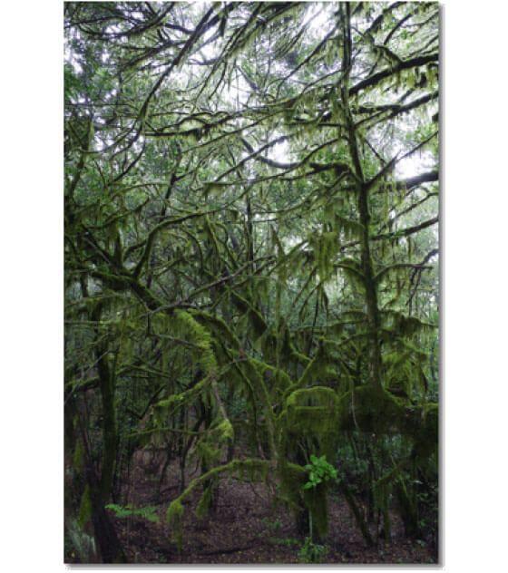 Dieses Photo entstand im Zauberwald von Las Creses auf La Gomera. Es ist…