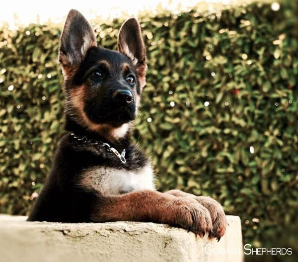German Shepherds German Shepherds Puppy German Shepherd Puppies Shepherd Puppies German Shepherd Dogs