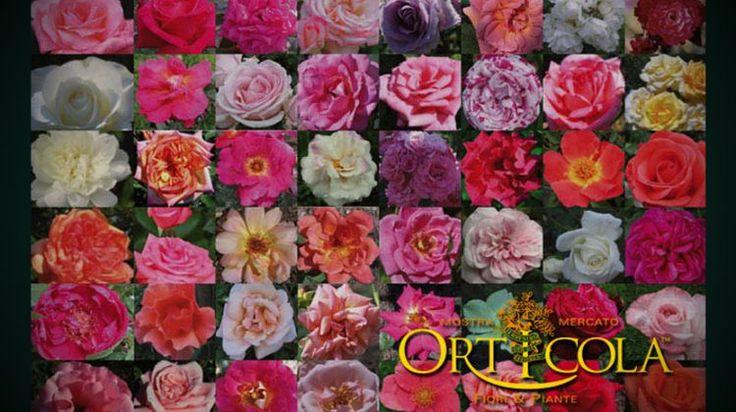 Le rose Italiane, protagoniste della Mostra Mercato Orticola 2015 - Italian roses, protagonists of Orticola exhibition 2014