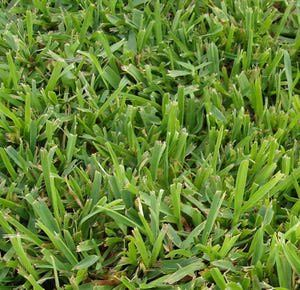 Guide to the 5 Best Grass Types for Arizona Lawns: Grass in Phoenix - Palmetto St. Augustine