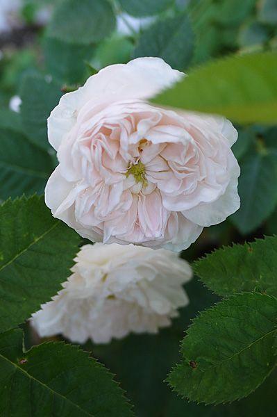 Die 25 besten ideen zu alte englische rosen auf pinterest - Hauswand farbig gestalten ...