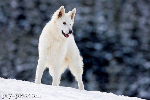 wilk szwajcarski - Szukaj w Google