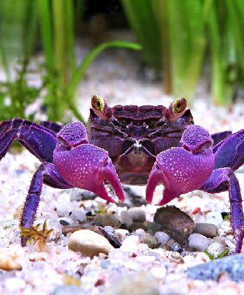 Vampire Crab now THIS is MY kind of crab!!!