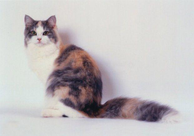 Ragamuffin-Karakteri: Hareketli, oldukça sıcak, dost, uysal, ev kedisi Bakım: Fazla bakım gerektirmez; haftada iki kez taranmalı/fırçalanmalı. Tüy Şekli: Orta Çıkış Yeri: A.B.D Vücut Yapısı: Büyük