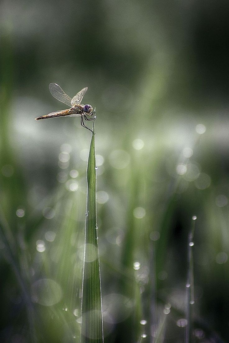 reminders of my childhood watching dragonflies alight upon the reeds growing in the pond...photo:by cemalsepici