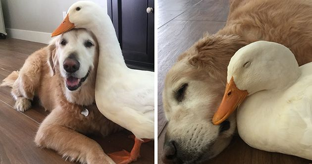 Barclay is a Golden Retriever and his best friend is Rudy, a Pekin duck who is four years old and their friendship is something that would get eyeballs roll