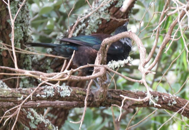 Bird Photos, Birding Sites, Bird Information: TUI, MOUNT EDEN, AUCKLAND, NEW ZEALAND
