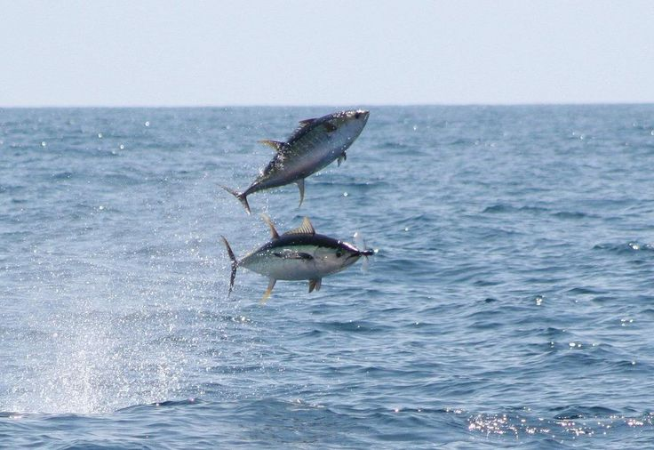 It is well known that flying fish make great bait for big for Ahi tuna fish