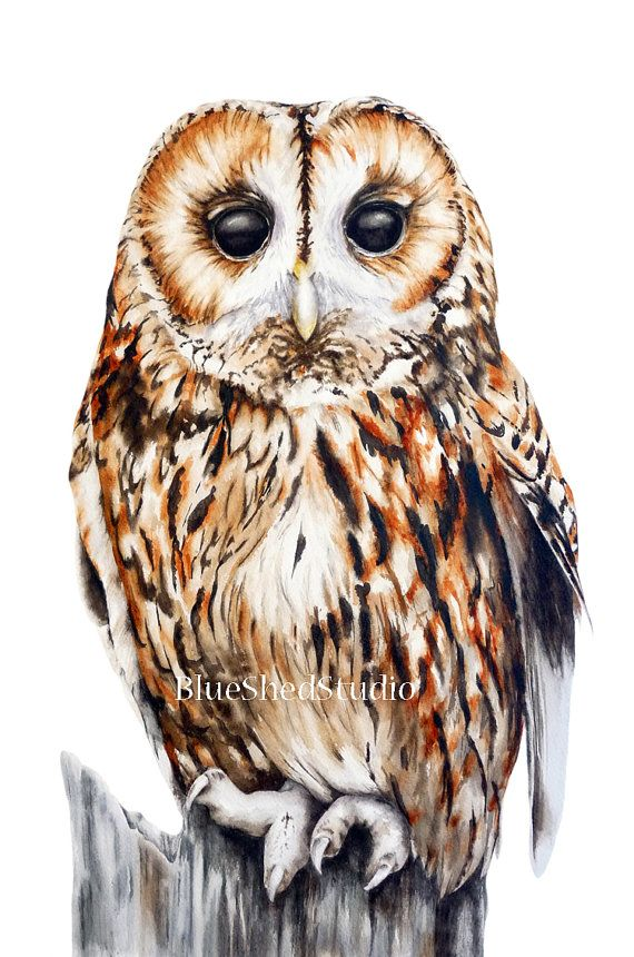 Tawny Owl Large fine art print watercolour by BlueShedStudio