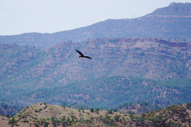 Eagle has unrestricted and uninterrupted views. Flinders Ranges. By Rawnsley Park Station