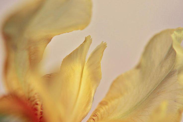 Mysterious Petals Photograph by Marfffa Art