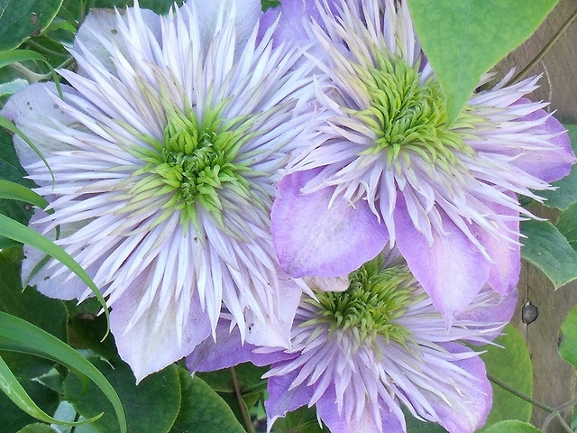 17 best images about paarse bloemen on pinterest gardens. Black Bedroom Furniture Sets. Home Design Ideas