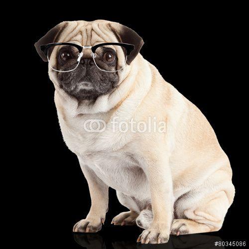 pug dog on a black  background