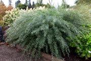 Salix integra 'Pendula' - Wierzba całolistna 'Pendula'