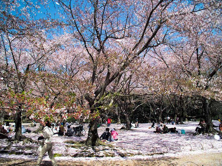 Sakura   2 Aussie Travellers