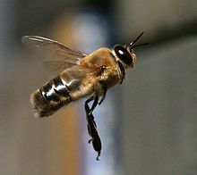 Drones are male honey bees. They develop from eggs that have not been fertilized, and they cannot sting, since the worker bee's stinger is a modified ovipositor (an egg laying organ).  A laying worker bee will exclusively produce unfertilized eggs, which develop into drones.  http://www.dummies.com/how-to/content/understanding-the-role-of-the-drone-bee-in-a-hive.html