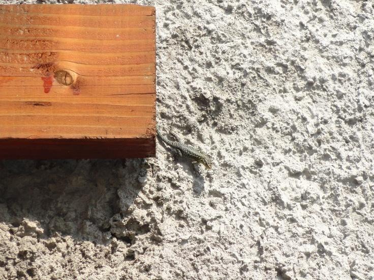 lagartija que se encontraba tomando el sol al lado de un cobertizo.