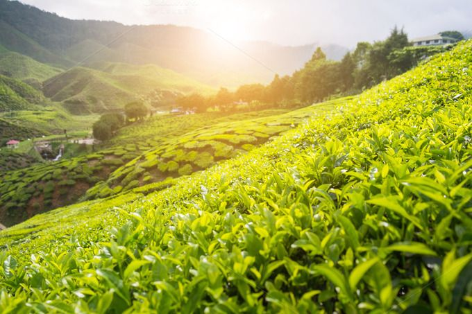 Tea Plantation by ptystockphoto on @creativemarket