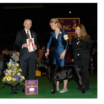 Cane Corso Dogs Breeders Mastiff Puppy Sale Picture Kennels Italiano Roman