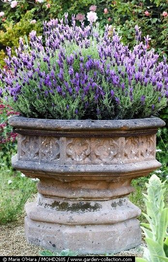 Lavender in a pot or urn. Easy. Comes back every year. Just prune back. Simple and beautiful.