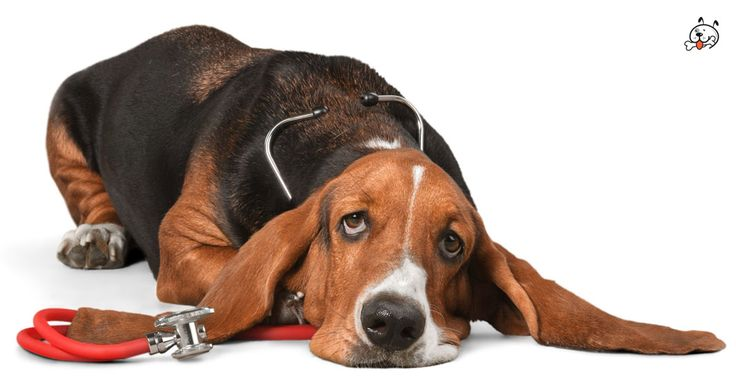 Did you know theese details about our  #Basset_Hound puppies? Click the Link or the image now and learn everything about them ;) http://puppies4all.com/basset-hound-puppies-for-sale/ #dog #doglover #puppy #p4a#puppies #dogs #adorable #lovely #funny #loyal #breeds;