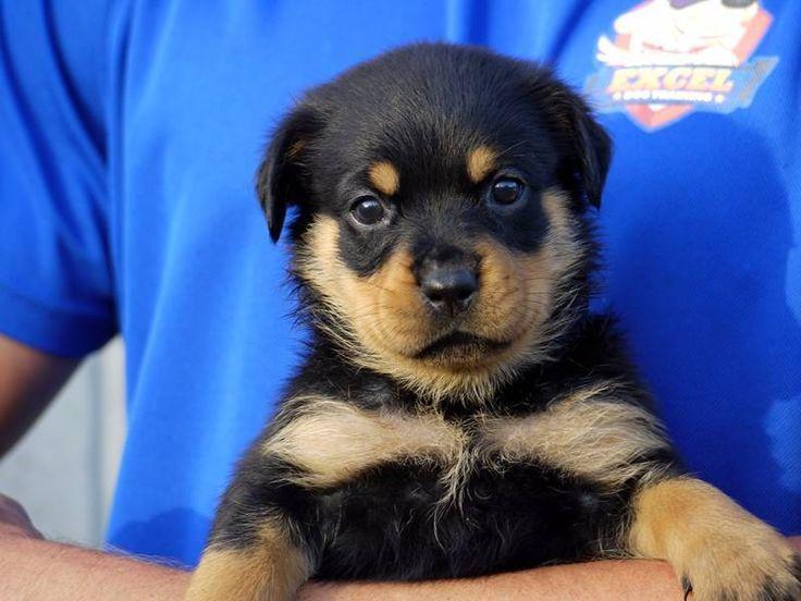 Premium Purebred Rottweiler Puppies We have 8 Beautiful