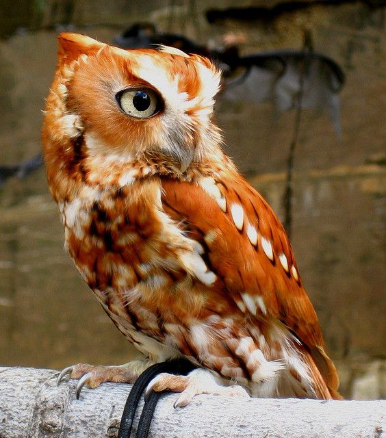 Pellet, is an eastern screech owl, he was found with pellets from a pellet gun lodged in his skull. Because of this injury, pellet can no longer survive in the wild.