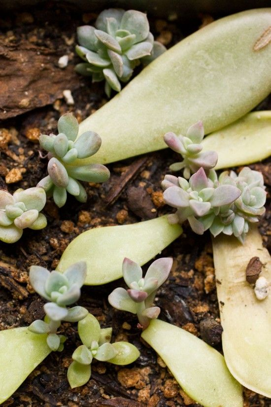 Succulent Leaf Cuttings - How To.. I pinned this for the site where this picture comes from! A site about succulents and how to grow them