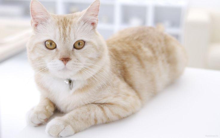 обои Внимательный светло-рыжий кот фото