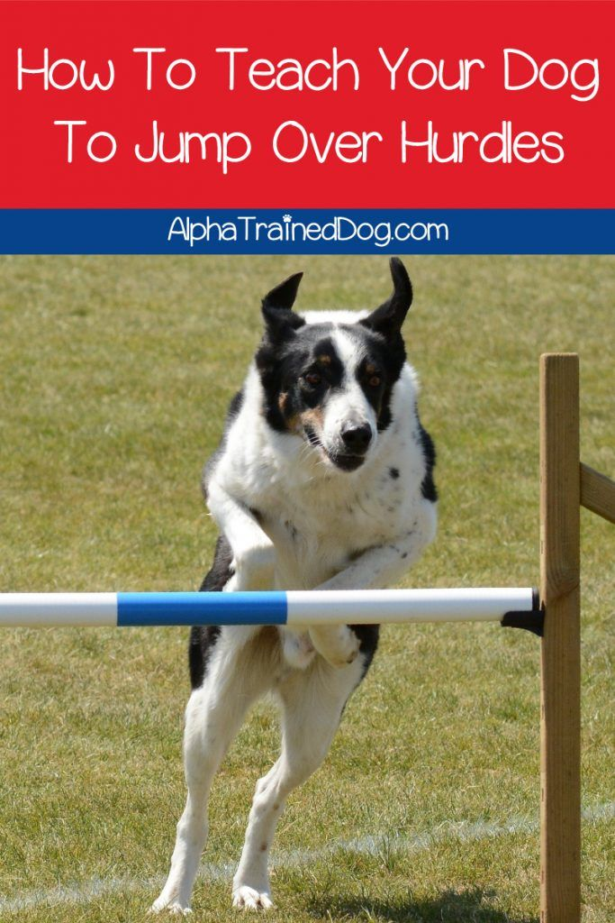 How To Teach Your Dog To Jump Over Hurdles With Videos Agility