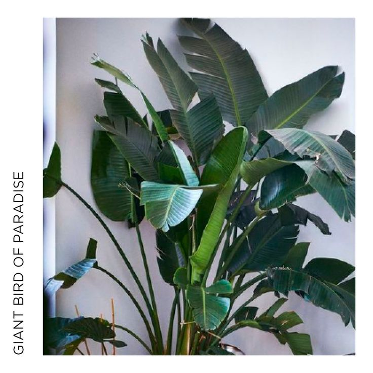 A bold and reliable banana-foliaged-like plant - wipe leaves with white oil to give the showroom look.  It does love a bright position inside, and watch out for mealy bug infestation.