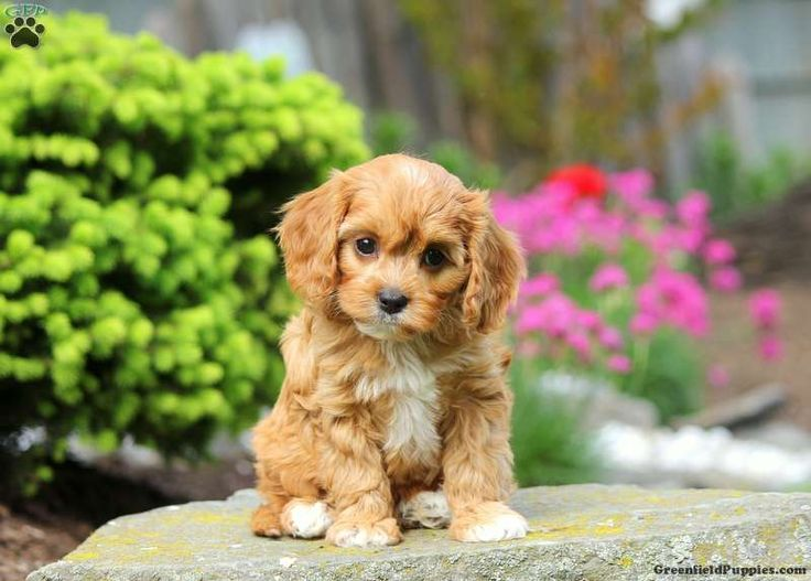 a Cavapoo puppy named George