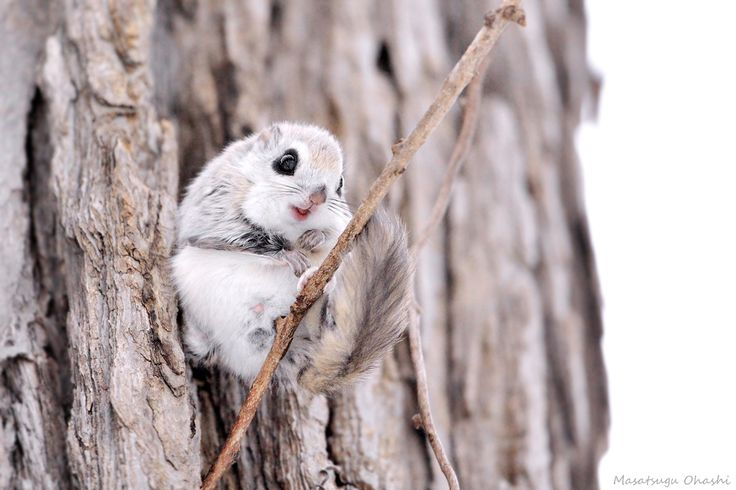 Even the flying squirrels in Japan look like adorable little anime characters  by Masatsugu Ohashi