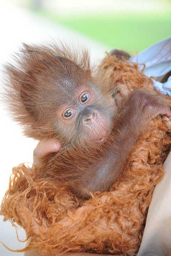 O.M.G. This Sumatran orangutan, named Menari, was born at New Orleans' Audubon Zoo in June 2009. In the wild, the species is found only on the Indonesian island of Sumatra, and is endangered due to loss of its natural habitat.