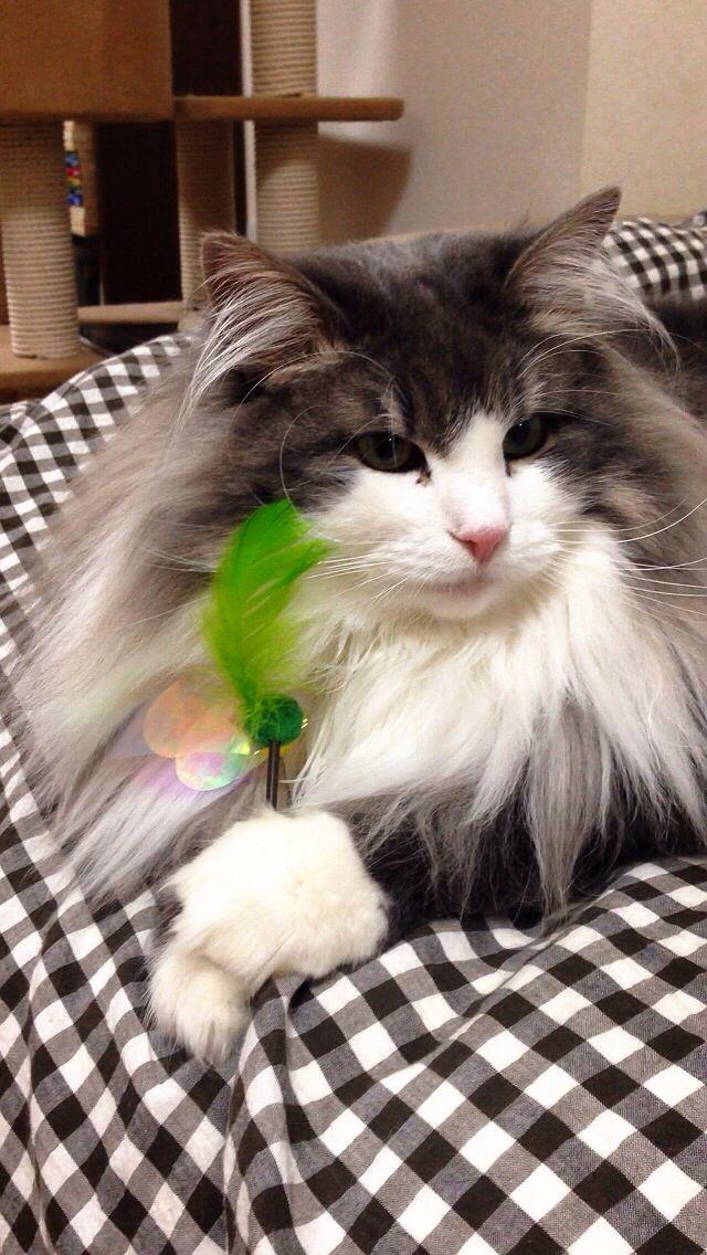 Hyne, Norwegian Forest Cat ハイネとおもちゃ