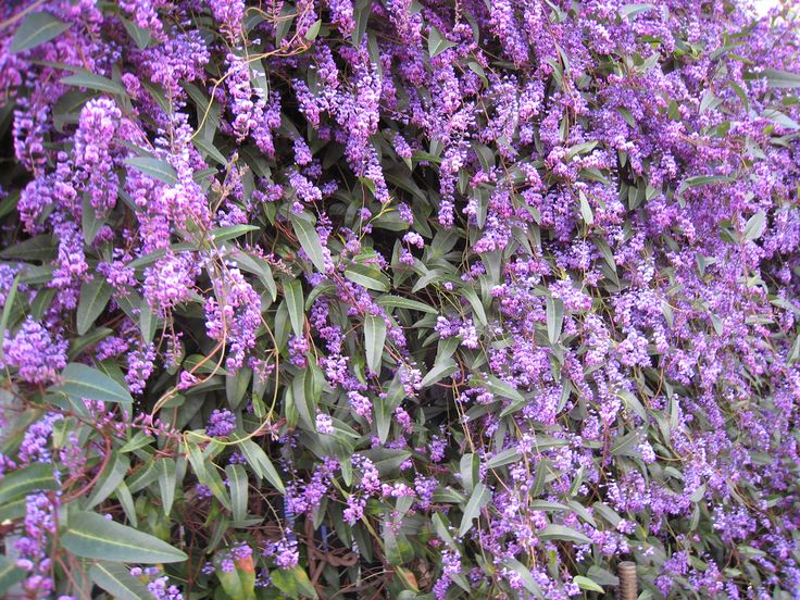 Trellis Plants For Shade Part - 39: Welcoming, Vibrant Color For Shady Spots In Your Phoenix Landscaping From  Evergreen Purple Lilac Vine. There Are Many Plants, Like This Lovely Vine,  ...