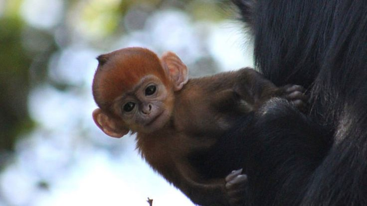 A rare orange monkey was born in a Sydney zoo and it's the cutest thing ever
