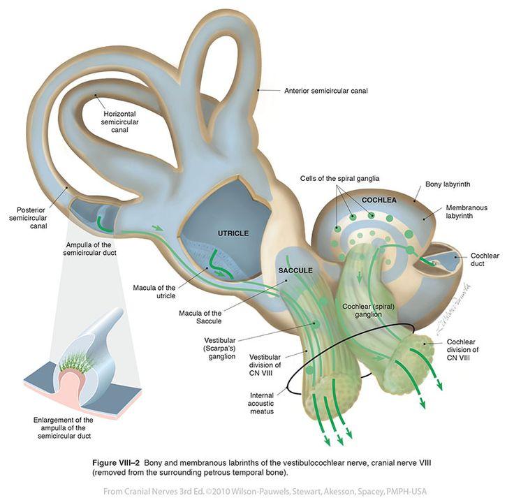 Cranial nerves essay