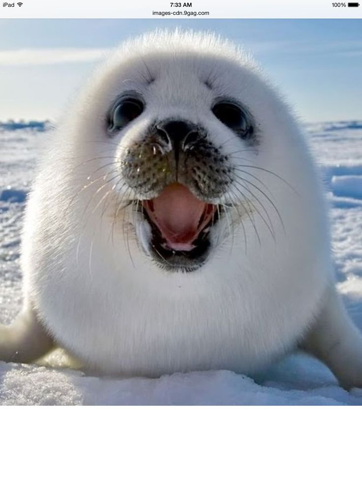 This is a cute and funny baby seal lost in Antarctica he ...
