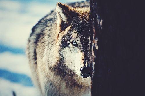 my blue eye wolf
