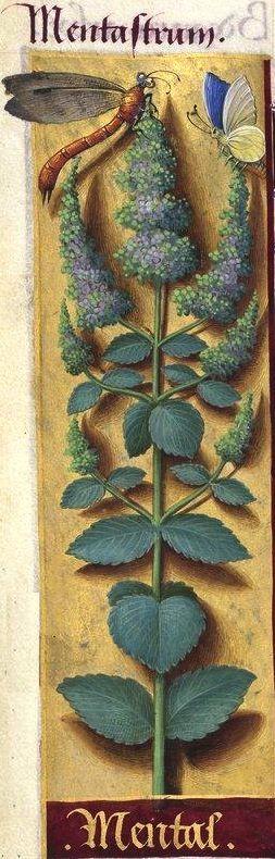 """Mental - Mentastrum (Mentha rotundifolia L. = baume sauvage -- """"Mental"""" est probablement une mauvaise lecture de """"mentas"""") -- Grandes Heures d'Anne de Bretagne, BNF, Ms Latin 9474, 1503-1508, f°113v"""